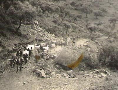 Cárdena Andaluza 30