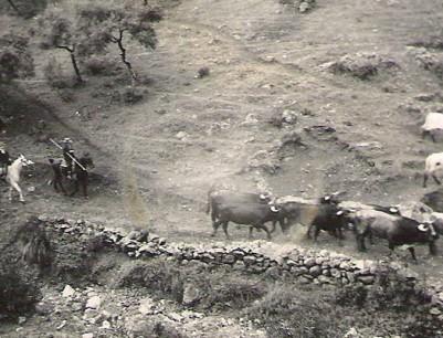 Cárdena Andaluza 31