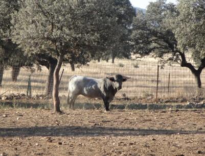 Cárdena Andaluza 9