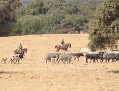 Cárdena Andaluza 16